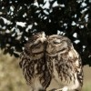 Baykuşlar da  sever