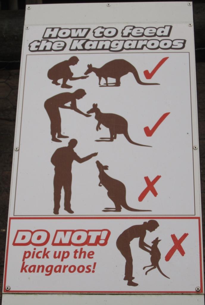 kanguru nasıl beslenir? besleme yöntemleri